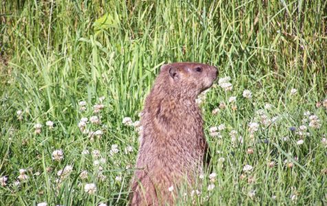 Groundhogs cannot predict the weather