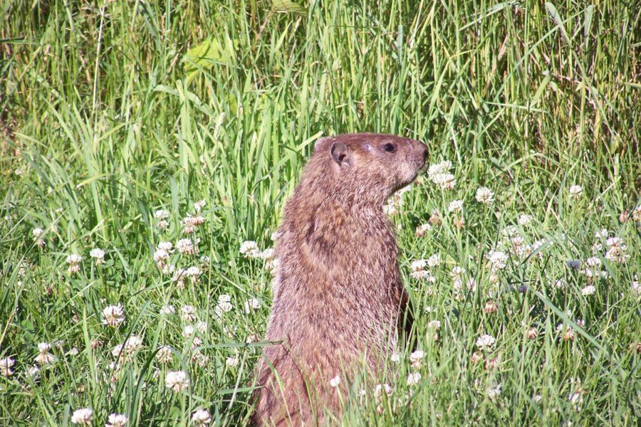 A groundhog, much like the one that predicts the forecast of winter every Feb. 2, stands in a field.